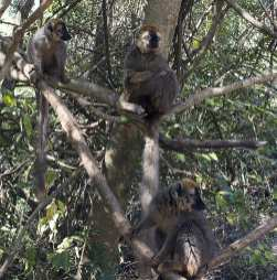 hear no evil see no evil speak no evil 2_red fronted brown lemurs_Isalo