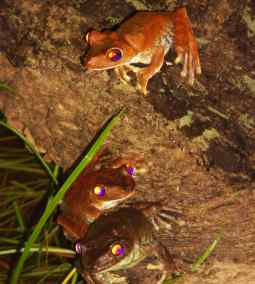 nocturnal recording of frogs