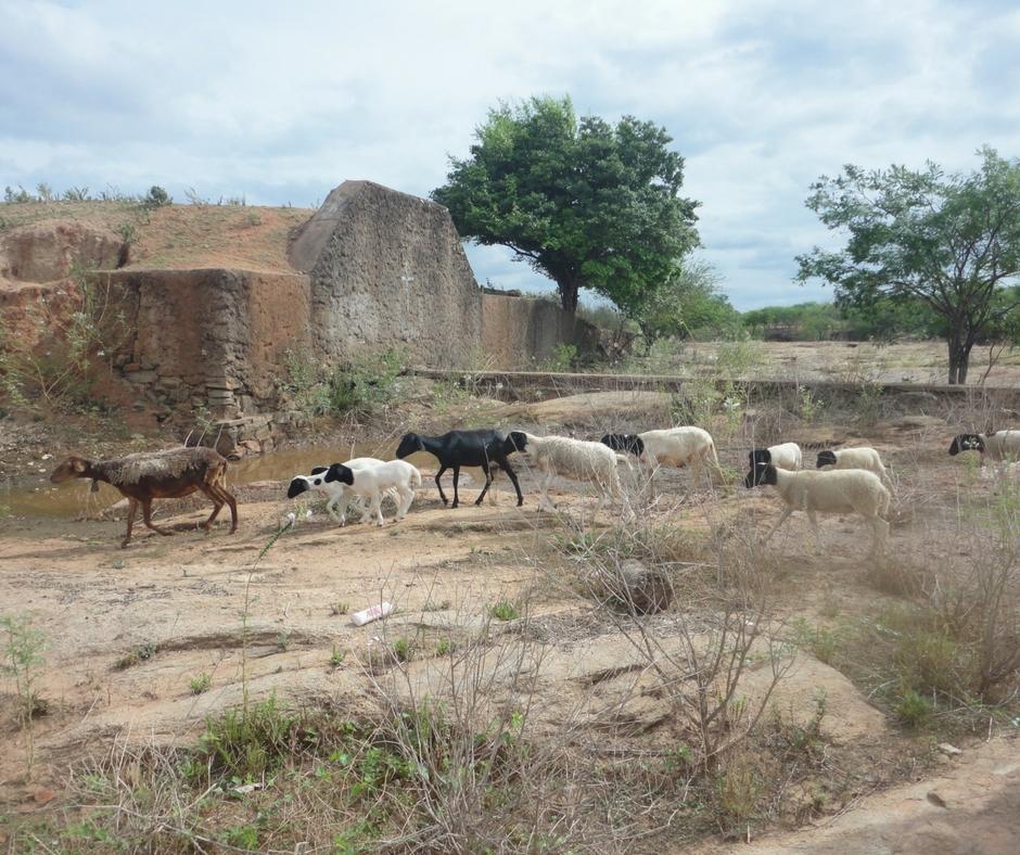 Santa Tereza- sertão- cabras