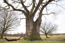 This oak deceives from one side...