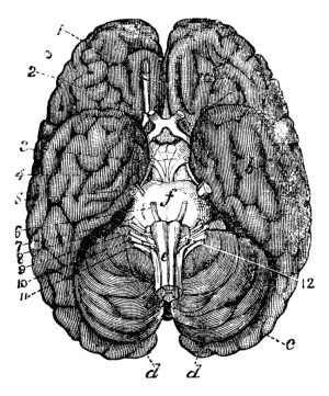 Labelled diagram of the brain from an old textbook