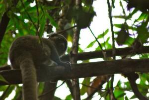 Photo of a Golden Bamboo Lemur