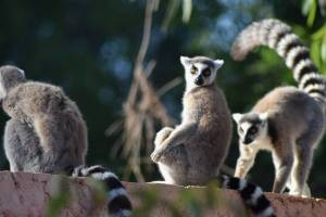 Group of ring-tailed lemurs on a wall