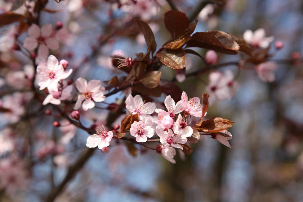 Duft-Reisende – Blütenpracht im Heppenheimer Frühling