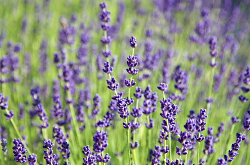 Duft-Reisende – Lavendel - Lavandula angustifolia