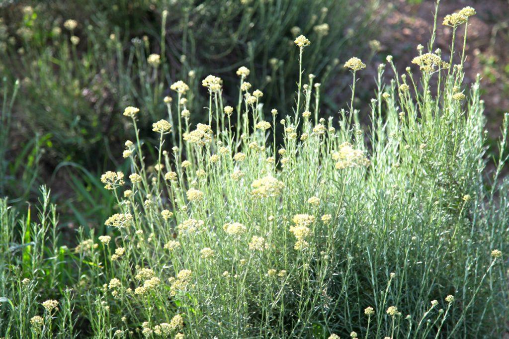 Duft-Reisende – Immortelle kurz vor der Blüte