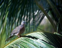 Hawaii Spotted Dove