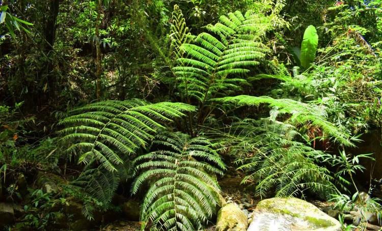 A tree fern as seen along the way to Shamsham Falls, Baayan, Tublay, Benguet.