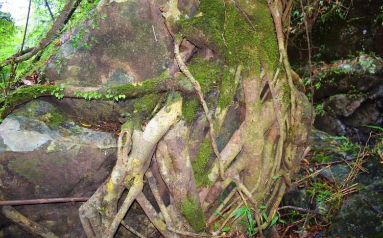 Gnarled roots as seen along the way to Shamsham Falls.