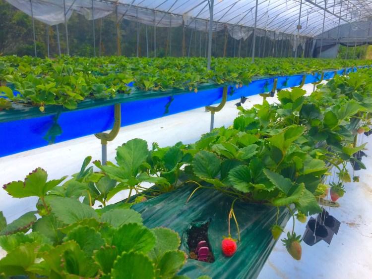 Strawberries at Winaca Eco Cultural Village