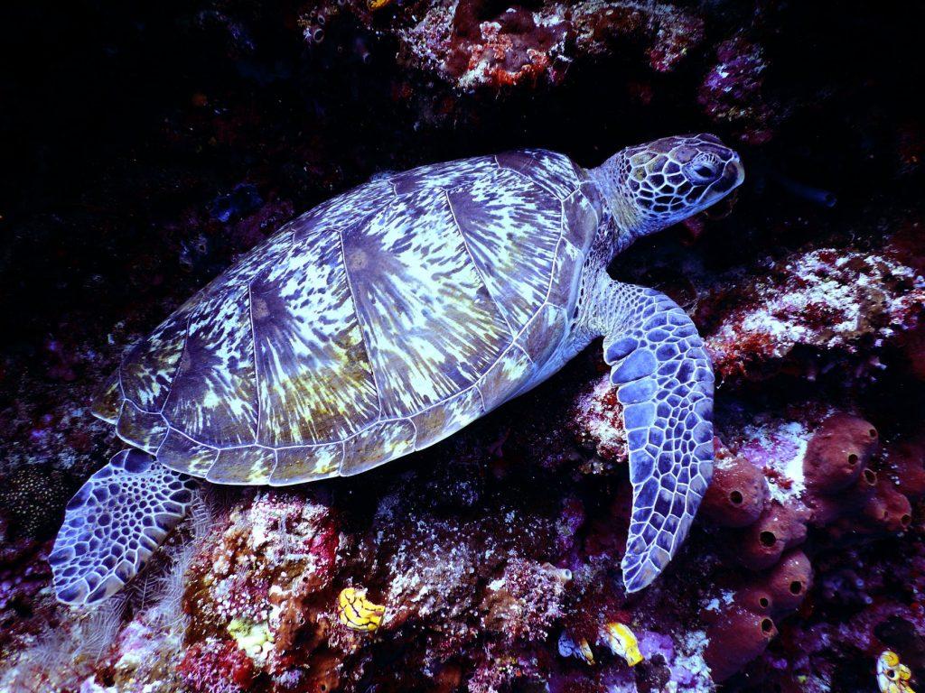 Snuba Diving Hawaii Turtle