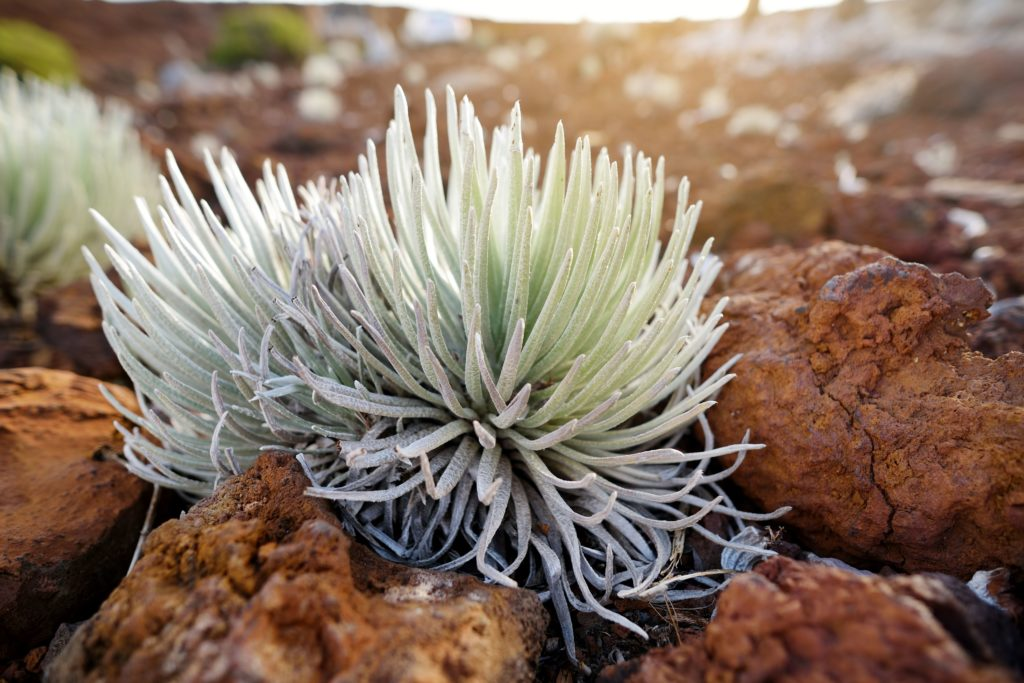 This precious Halekalā silversword will only bloom once before perishing on the dormant volcano