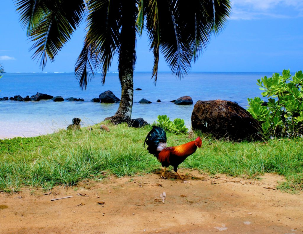 Chickens and roosters run wild in Kauai