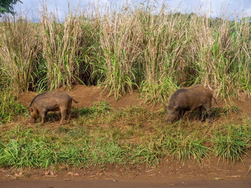 Pigs in Kauai