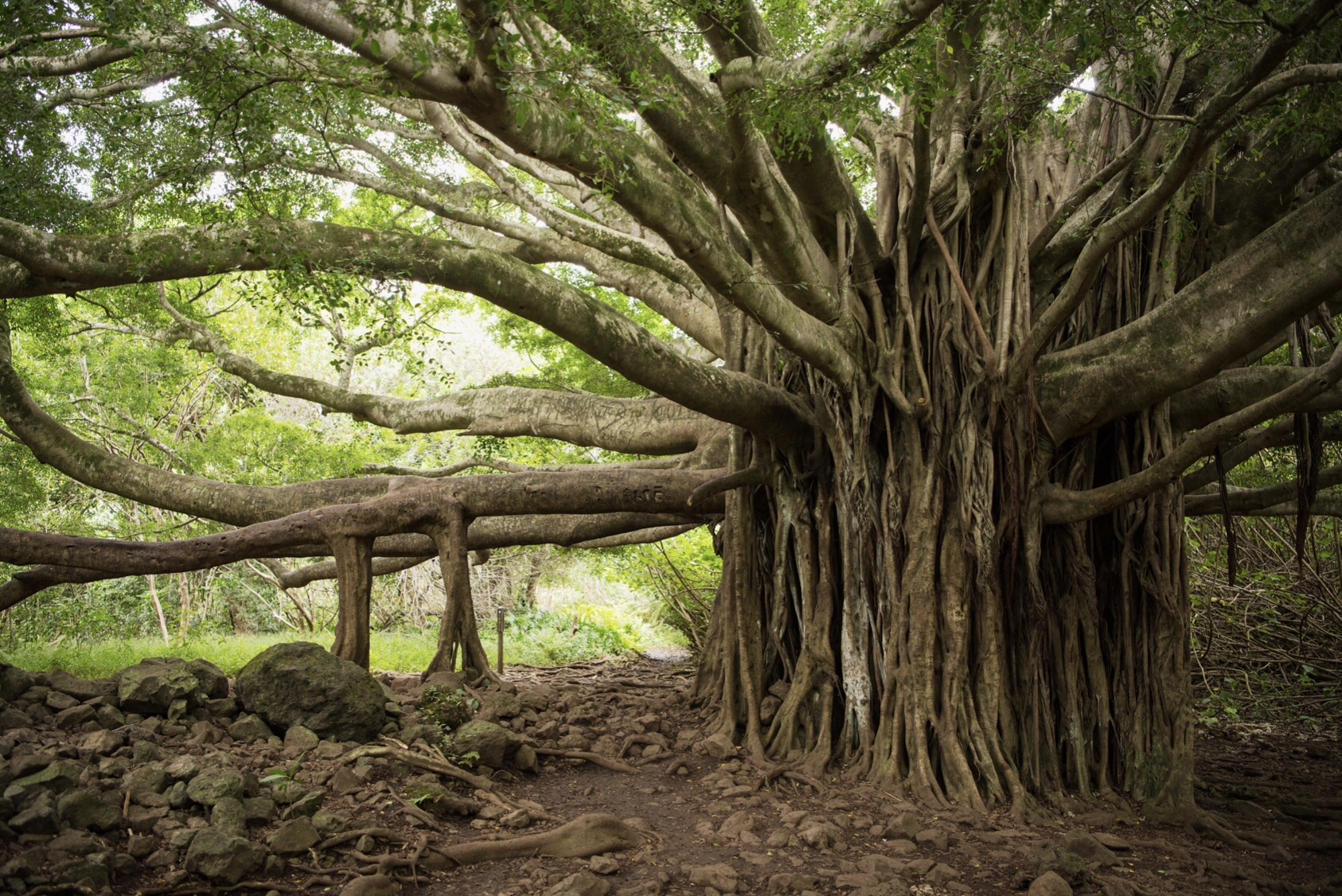 In Maui, you'll find the largest banyan tree in the United States