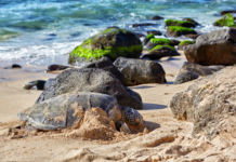 Plan a Vacation on Oahu at Laniakea Beach