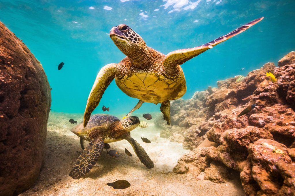 Hawaiian sea turtles need to be protected. Travel pono in Hawaii and be respectful when you see them.