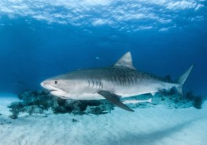 Tiger sharks are one of the most dangerous animals in Hawaii