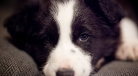 Border Collie Puppy - Charlie at 7 Weeks
