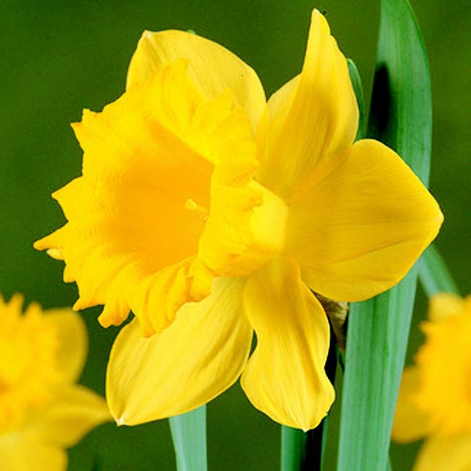 Daffodil Salon