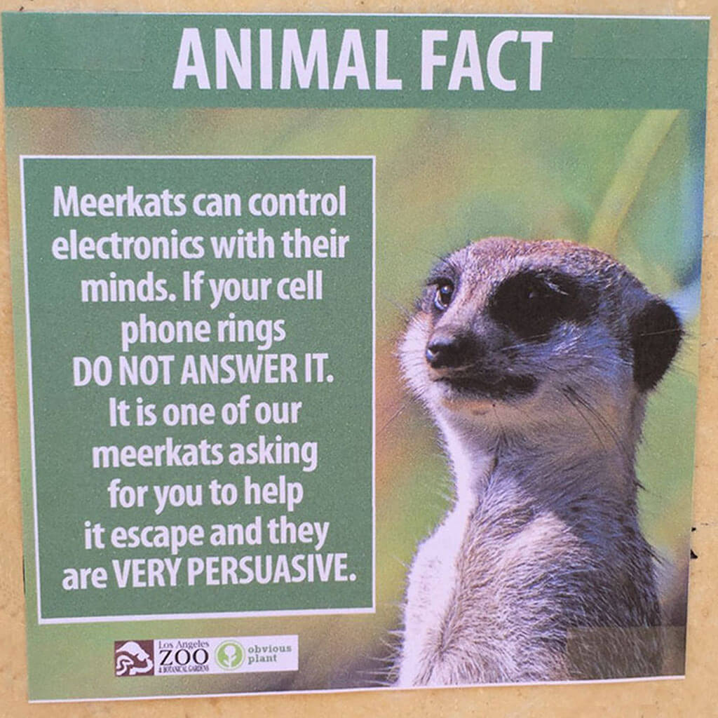Meerkats control electronics with their minds