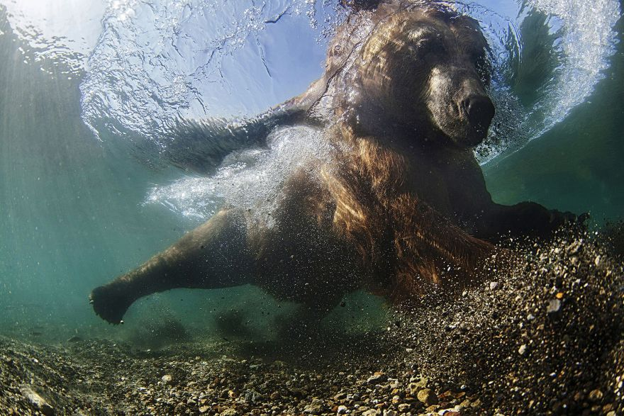 The bear fishes in the river, he sits down, puts his head under the water and pauses looking for fish. Once the fish begin to ignore him and come closer, he makes a crucial lunge and catches them with his paws or teeth.