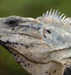 science diagram of lizard [ 1200 x 669 Pixel ]