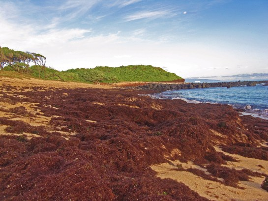 Invasive algae washed up at Kuau Bay, Maui