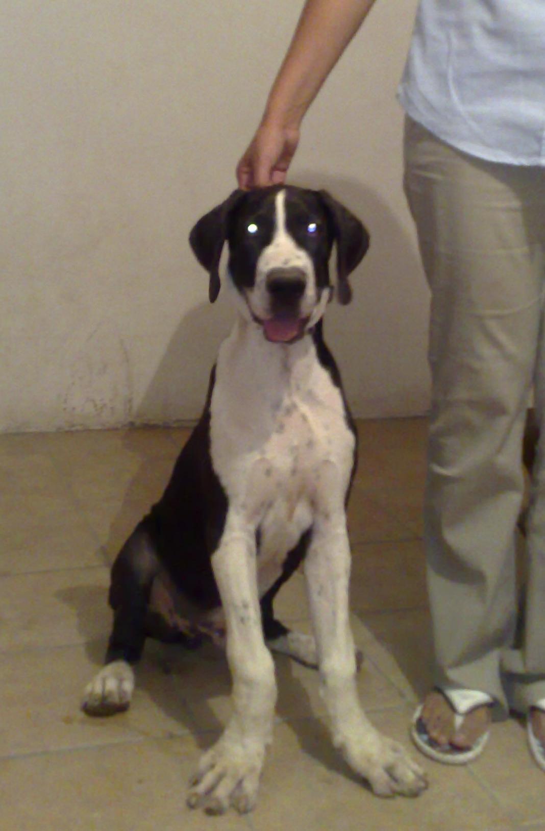 4 Months Old Daniffs 50 Grate Dane 50 English Mastiff