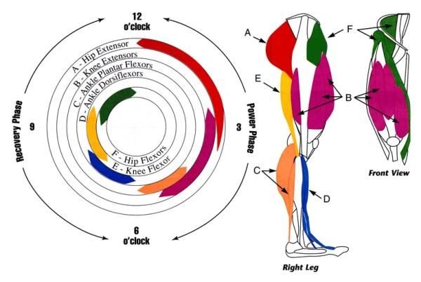 Músculos implicados en la bicicleta