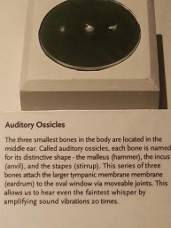Smallest Bones in Body - Ear Bones