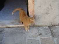 Friendly Venetian Cat