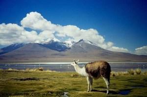 תמונות יפות למכירה צילום בעלי חיים, בוליביה 5153