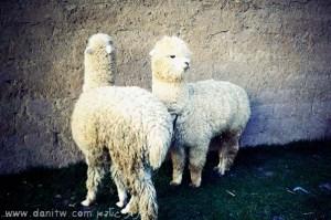 תמונות יפות למכירה צילום בעלי חיים, פרו 5196
