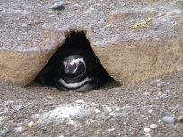 The penguins have created these holes.