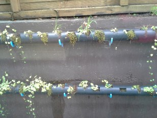Puerto Varas. These Gutter tubes are mounted on a concrete wall. They provide dirt and water to vines that will grow on the wall.