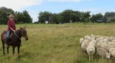 Char herding sheep