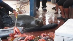Sea Lion using a tuna as a pillow