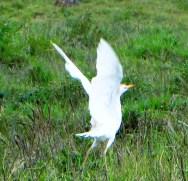 Cattle Egret taking off