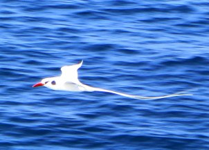 Red beaked tropic bird - what a tail!