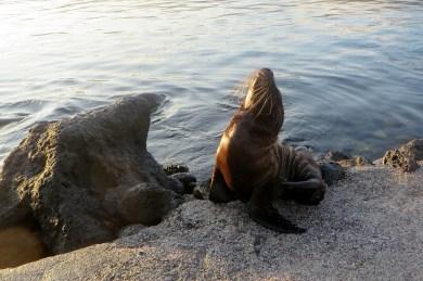 Sea lion pup at sunrise
