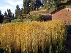 Barley is beautiful