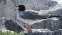 Galapagos lava gull