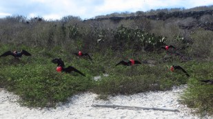 Male frigate birds trying to attract mates
