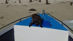 This big guy jumped onto the foredeck of our boat. One of the crew beat him off with a life jacket