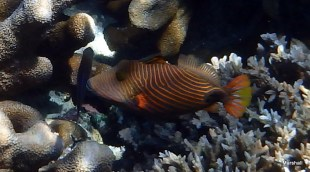 Parrot Fish, Bunaken, Manado, Sulawaisi