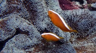Clownfish, Bunaken, Manado, Sulawaisi