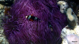 Clown Fish in purple