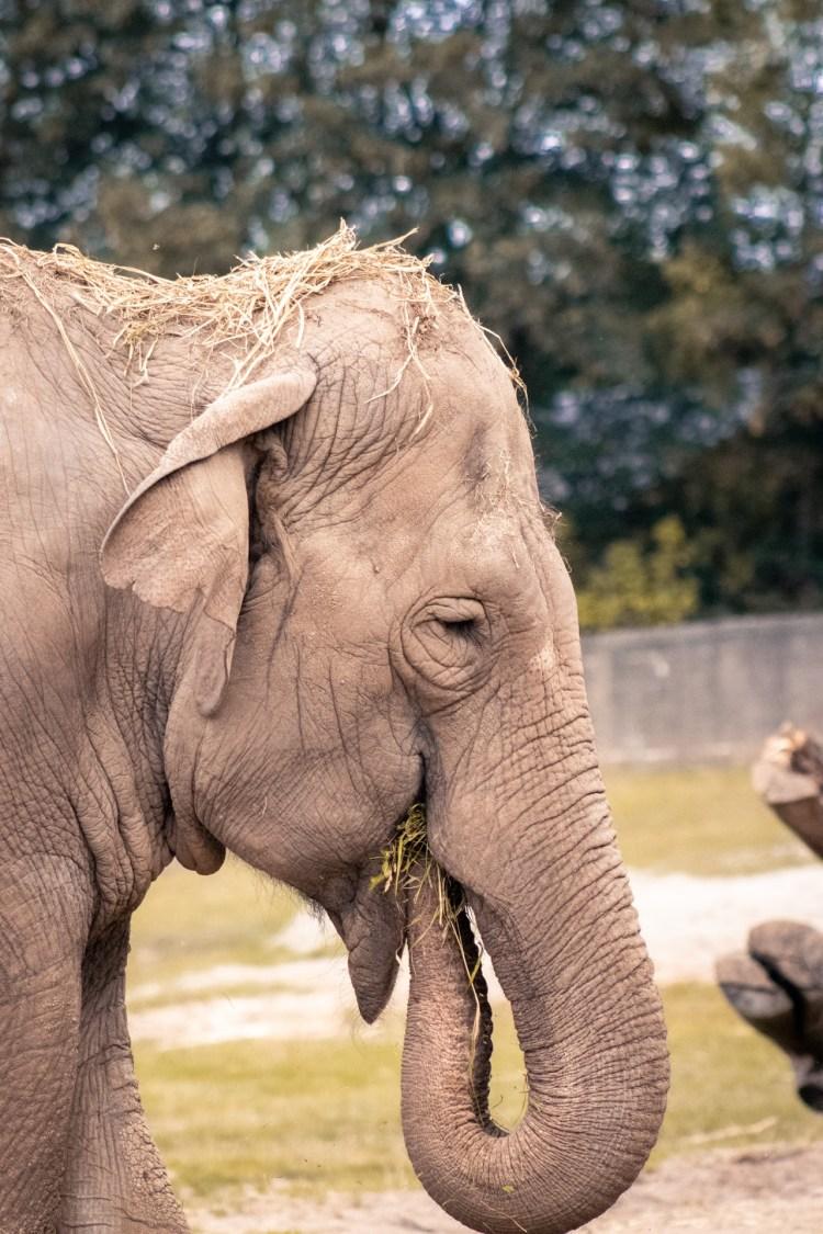 Indischer Elefant / Indian Elephant - Tierprints / Animal Prints