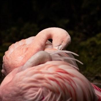 Flamingo - Tierprints / Animal Prints